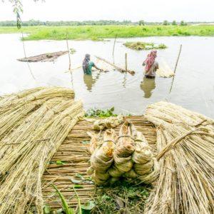 culture du jute au Bangladesh